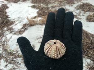 A sea urchin skeleton, Sullivans Island, SC.